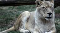 Lioness - Sharp HD video
