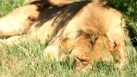 Lioness sleeping with flies video