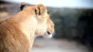 Lioness. video