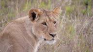 CLOSE UP: Lioness video
