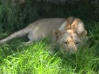 Lioness video
