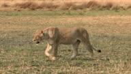 Lioness walking across open savannah video