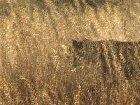 Lioness walking in long grass video