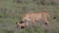 lioness walking with her cubs in the veld video