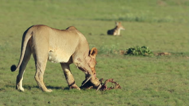 A lioness with the remains of antelope prey video