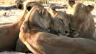 Lioness with three month old cubs video