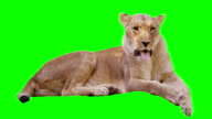 Lioness Yawning on Green Screen video