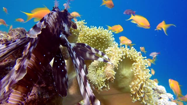 Lion-Fish and Soft Coral video