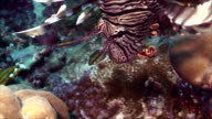 lionfish at coral reef video