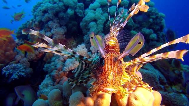 Lion-Fish Close-UP video