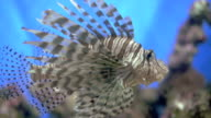 Lionfish on a reef video