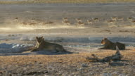 Lions and springbok at waterhole video