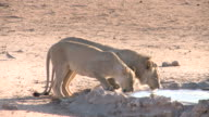 Lions drinking at a waterhole video