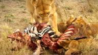 Lions eat Zebra video