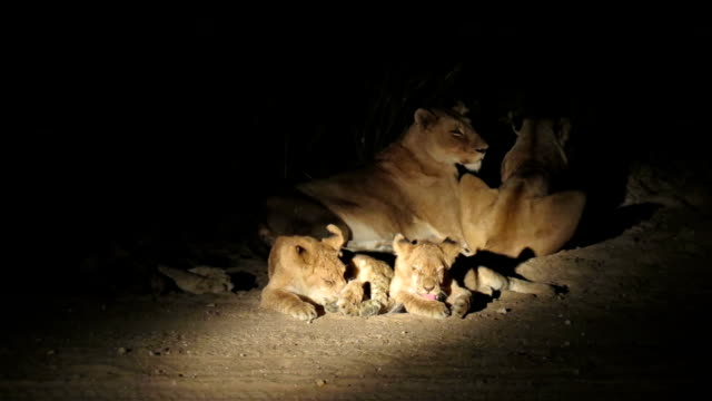 Lions Family in Kruger Wildlife Reserve video