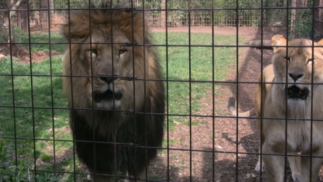 Lions In Cage video