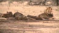 Lions in the Kalahari video