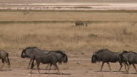 Lions killed a wildebeest video