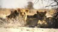 Lions lying in the shade of a tree video