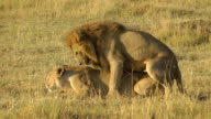 lions mating video
