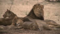 lions resting in the shade of a tree video