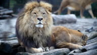 Lions resting together. video