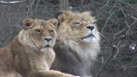Lions sit in a snowy field HD 4:2:2 1080i video