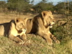 Lions sitting on anthill video