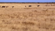 Lions sleeping and zebras walking in background video