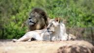 Lions video