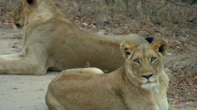 Lions. video