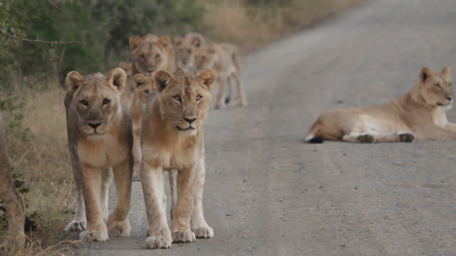 Lions walking on the road. video