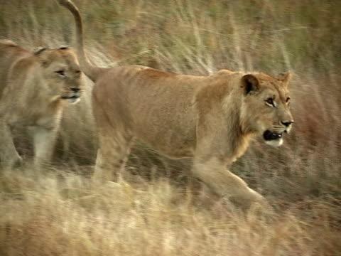 Lions walking video
