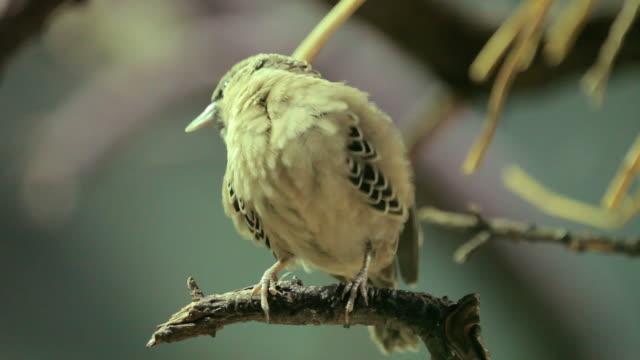 little afirican bird_Webervogel video