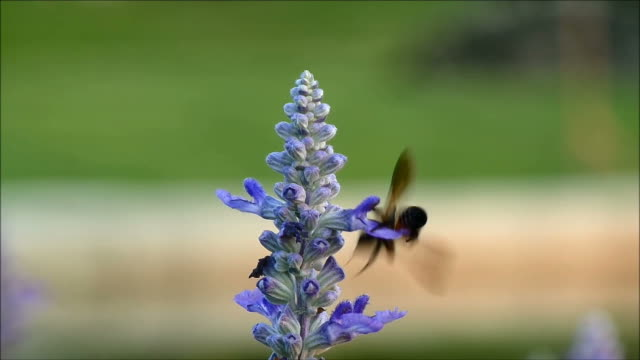 Little bee collecting nectar from the beautiful blooming purple Lavender flower, Thailand video