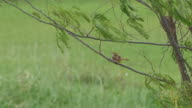 little bird cleaning itself on the tree branch video