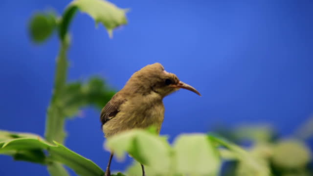 Little bird colibri looks around and flyes away video