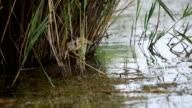 Little bittern hunts in pond and catches a frog video