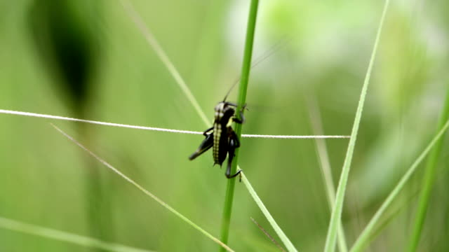 SERIES: Little black grasshopper video