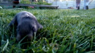 little black rabbit running on the grass across people at the farm video