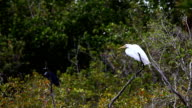 Little Blue Heron, Egretta caerulea, and Great Egret, Ardea alba video