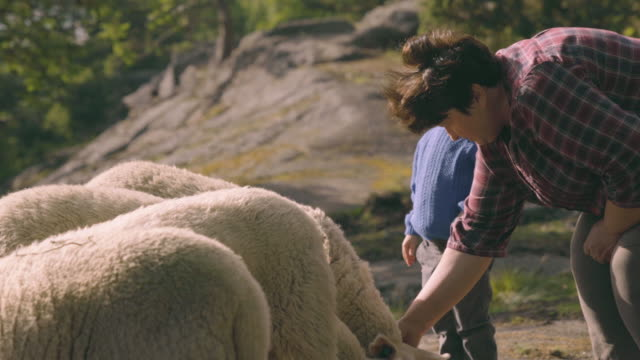 Little Boy Learns to Pet Sheep video