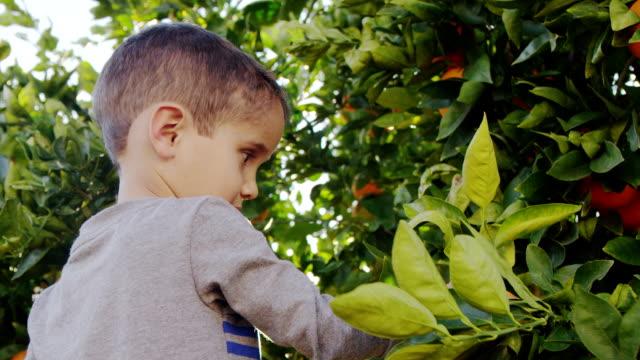 Little Boy Picking Oranges video