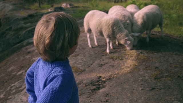 Little Boy Plays With Sheep In Nature video