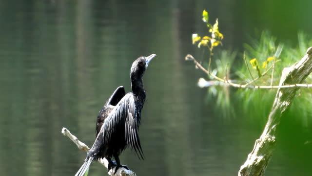 Little Cormorant standing on log video