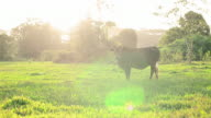 Little Cow on  beautiful sunny landscape video