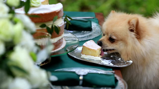 Little cute pekingese puppy eats a celebratory cake outdoor video