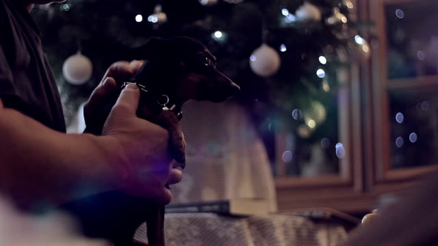 Little dog at Christmas with Christmas tree in the back video