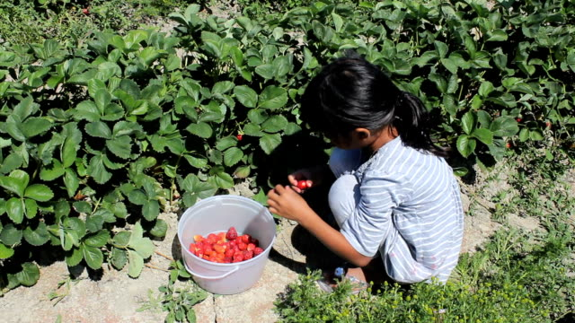 Little Girl Picks Fresh Strawberries video