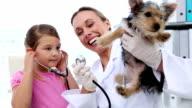 Little girl watching vet checking her yorkshire terrier video